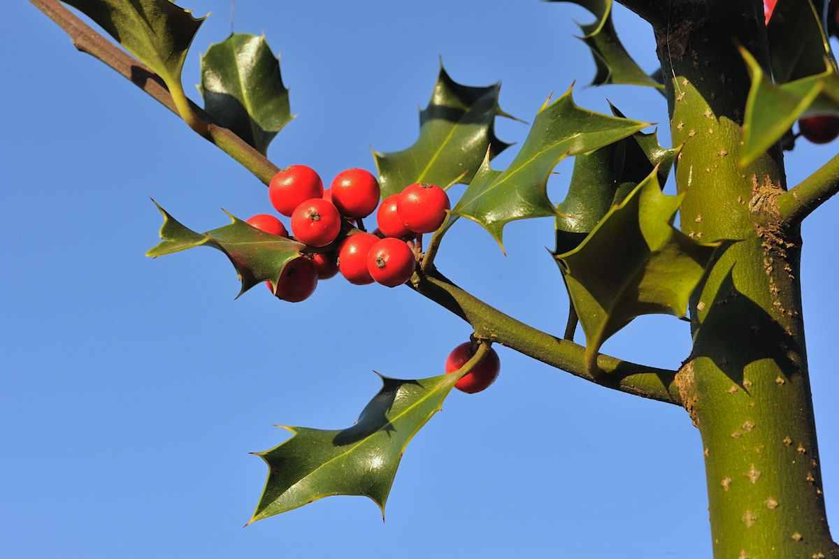 Das Holz der Stechpalme (engl., Holly) wurde bei den Druiden für die Herstellung von Zauberstäben verwendet