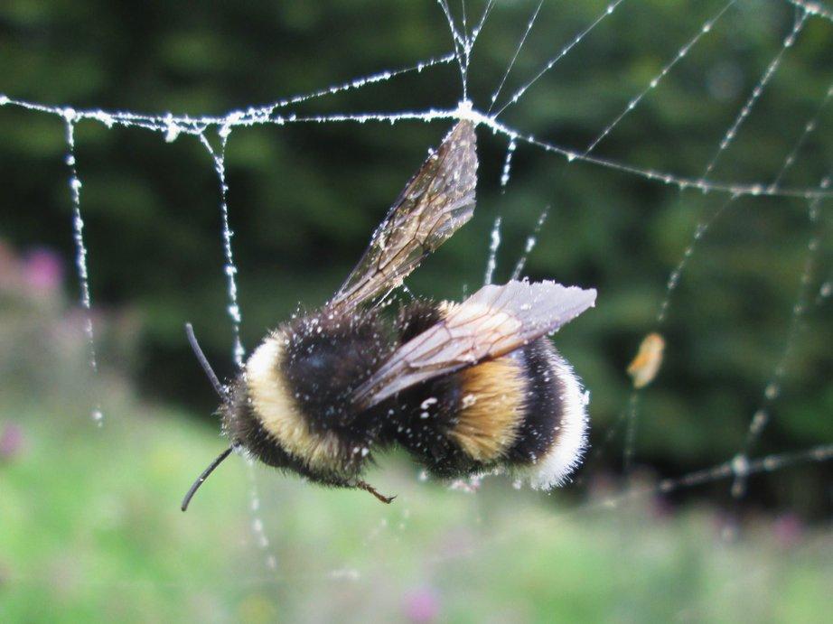 Hummel im Kampf mit dem Spinnennetz